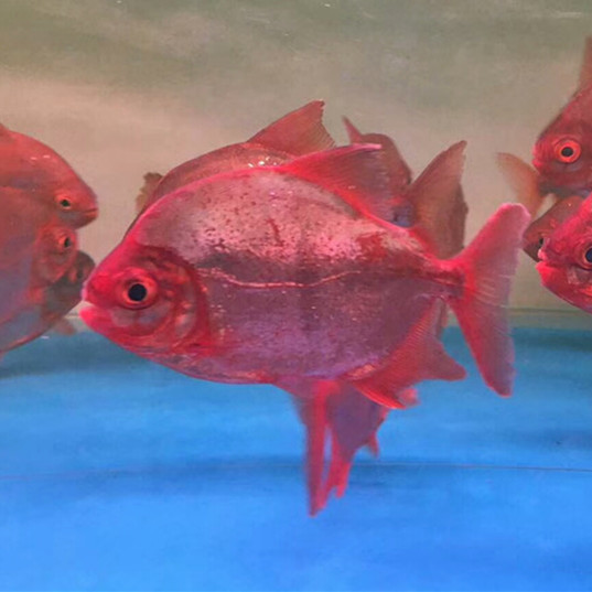 韶关玫瑰银版鱼